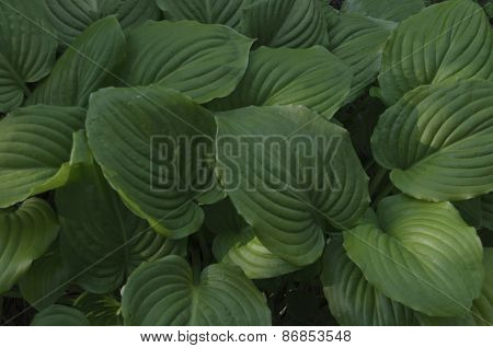 Beauty background of hosta undulata