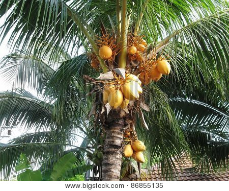 palm tree with yellow coconuts.