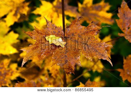 Golden and colorful maple leaves on a twig. HDR-toning.