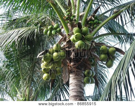 Green coconuts hanging on palm.