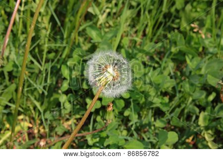 Half-full blowball flower