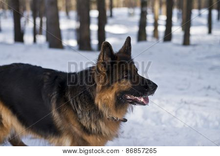 German shepherd dog in a winter forest