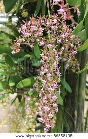 Epidendrum Stamfordianum Is An Epiphytic Orchid In The Genus Epidendrum.