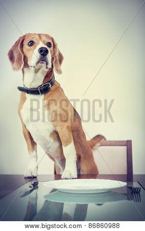 Beagle dog waiting for a dinner