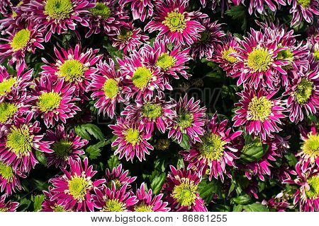 Background Of Pink Chrysanthemums
