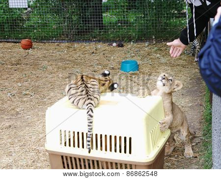 Playing Tiger And Lion Cubs In Aviary, Safari Park Taigan, Crimea.