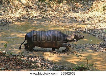 A wild water buffalo walking in a muddy pond in Pokhara, Nepal