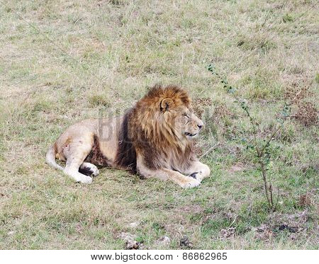 Dormant Lion, Safari Park Taigan, Crimea.