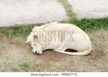 Sleeping White Lion, Safari Park Taigan (lions Park), Crimea.