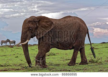 Kicking Elephant with Zebras in background