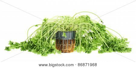 Sear green parsley isolated