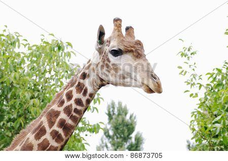 Portrait Of Giraffe,  Safari Park Taigan, Crimea.
