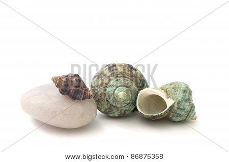 Seashell Isolated Over White Background
