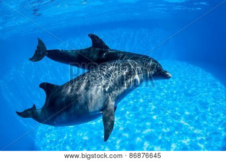 Dolphins couple swims under the water