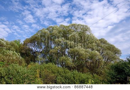 Willow Tree In The Wind