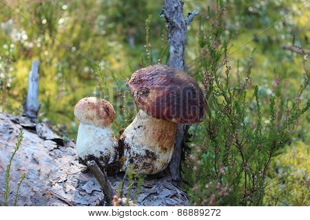 Two cepes mushrooms in the forest