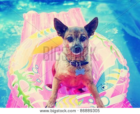 a cute chihuahua mix sitting in a blow up tube in a pool during summer toned with a retro vintage instagram filter effect app or action