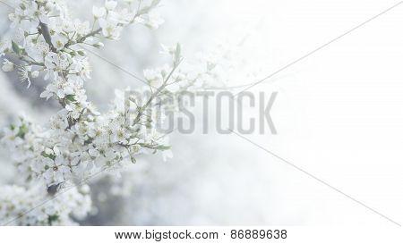 Cherry tree flower in spring