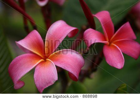 Hawaiian Lei Flowers