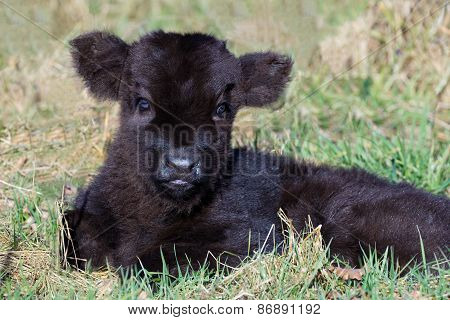 Newborn black scottish highlander calf lying in grass