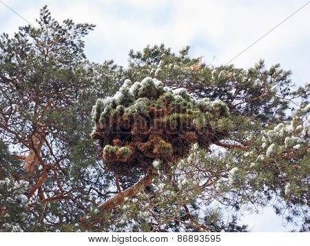 Interesting outgrowth on a pine branch