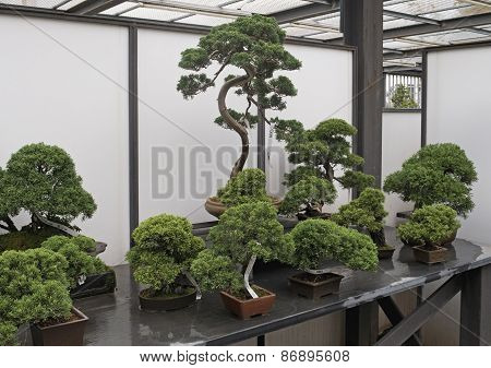 Assorted Bonsai trees in shop