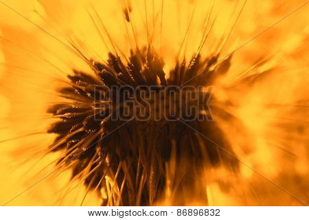 Abstract dandelion flower orange background, extreme closeup. Big dandelion on natural background