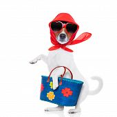 stock photo of diva  - jack russell dog diva lady with bag shopping at supermarket isolated on white background - JPG