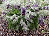 picture of pubescent  - Blooming Pulsatilla after rain on a cloudy day - JPG