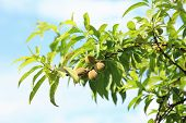 foto of peach  - Sweet peach fruits growing on the peach tree branch in spring - JPG