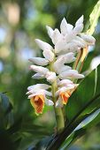 stock photo of shells  - Shell ginger flowers and buds blooming in the garden in spring - JPG
