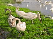 picture of flock seagulls  - Flock of swans and seagulls feeding on the bank of the river - JPG