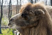 picture of hump  - Bactrian or two-humped camel (Camelus bactrianus) portrait