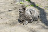 foto of hump  - Newborn Bactrian or two - JPG