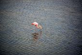 stock photo of pink flamingos  - Pink flamingo in a pond on Isabela Island in the Galapagos Islands in Ecuador - JPG