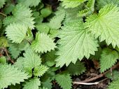 picture of sting  - Young green leaves of a stinging nettle which is used in Italian cuisine - JPG