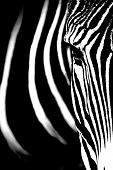 image of monochromatic  - Monochromatic image of a the face of a Grevy - JPG