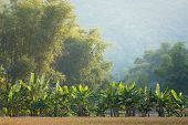 picture of banana tree  - Banana and bamboo trees landscape in the Mai Chau village - JPG