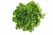picture of leafy  - Head of fresh crispy leafy green Californian lettuce isolated on white viewed from above to be used as a healthy salad ingredient and garnish - JPG