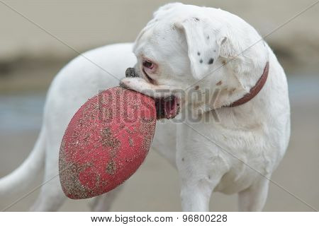 Padigree Dog With Red Ball