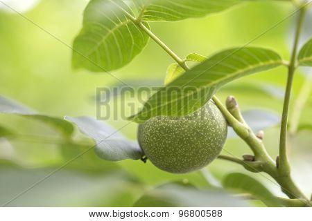 Walnuts Keep Up On A Tree