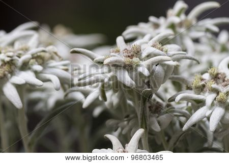 Edelweiss In The Mountain