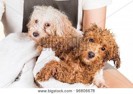 Cute wet poodle puppies wrapped in towel after shower