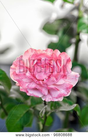 Single Pink Rose In A Garden