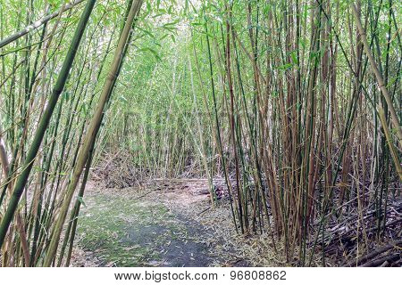 Hiking Trail Through A Bamboo Forrest At Dutch Plantation
