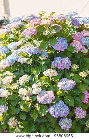 Flowering Hydrangea Shrub In Sunshine