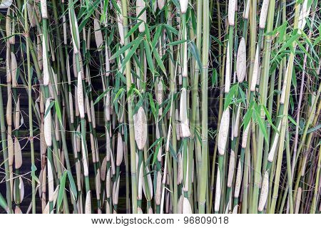 Stems Of A Bamboo Forrest At Dutch Plantation