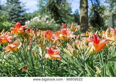 Dutch Garden With Colorful Blooming Hemerocallis