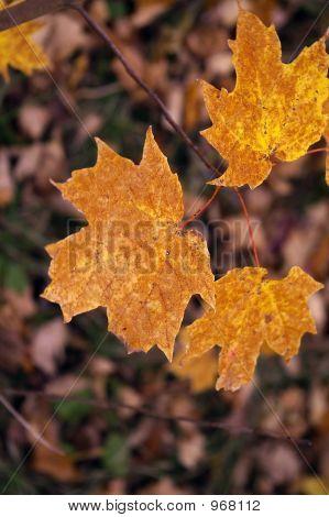 Orange/Brown Maple Leaves