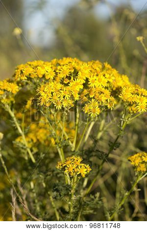 Yellow Ragwort Plant